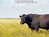 Argentina - Buenos Aires : Toro . / bull. / Argentinien: Stier in der Pampa. Landwirtschaft. © Norberto Lauria/LATINPHOTO.org