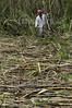Nicaragua : cosecha de la cana de azucar en los campos de Santa Teresa de Carazo . / Sugar cane harvest in Santa Teresa de Carazo. / Nikaragua: Zuckerrohrernte in Santa Teresa. Landwirtschaft. © Angelo Favale/LATINPHOTO.org