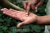 Mexico : Siembra de café en Cuetzalan , Puebla / Coffee plating in Cuetzalan , Puebla / Mexiko : Kaffeeplantage in Cuetzalan - Ein Plantagearbeiter prüft eine Steinfrucht © Prometeo Lucero/LATINPHOTO.org