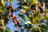 Mexico : Siembra de café en Malinaltepec , Guerrero / Coffee plating in Cuetzalan , Puebla /  Coffee plantation in Malinaltepec,  Guerrero / Mexiko : Kaffeeplantage in Cuetzalan - Kaffeebohnen © Prometeo Lucero/LATINPHOTO.org