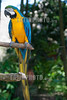 México : Guacamayo azulamarillo - Guacamayo azulamarillo ( Ara ararauna ) guacamayo azul y amarillo , papagayo amarillo o paraba azul amarillo - Macaw - Yumka Park - Villahermosa - Tabasco / Blue - and - yellow macaw ( Ara ararauna ) , blue-and-gold macaw, large South American parrot with blue top parts and yellow under parts . It is a member of the large group of neotropical parrots known as macaws / Mexiko : Gelbbrustara ( Ara ararauna ) Papageienart der Gattung der Eigentlichen Aras ( Ara) © Alexander Sánchez/LATINPHOTO.org