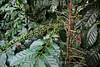 Mexico : Siembra de café en Cuetzalan , Puebla - Planta de Cafeto / Coffee plating in Cuetzalan , Puebla / Mexiko : Kaffeeplantage in Cuetzalan - Unreife Steinfrüchte © Prometeo Lucero/LATINPHOTO.org