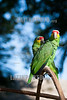 México : Amazona frentirroja ( Amazona autumnalis ) loro cariamarillo , cachete amarillo , loro palencano , chojín , loro cochá, especie de ave psitaciforme de la familia Psittacidae - Yumka Park . Villahermosa . Tabasco / Red - lored amazon or red - lored parrot ( Amazona autumnalis ) amazon parrot / Mexiko : Gelbwangenamazone ( Amazona autumnalis ) Papageienart aus der Unterfamilie der Neuweltpapageien © Alexander Sánchez/LATINPHOTO.org