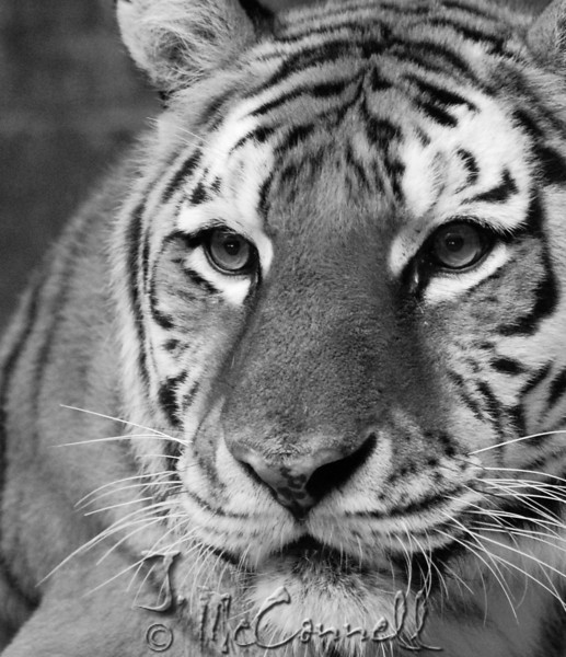 Category - Black and white animal photograph<br /> No Ribbon
