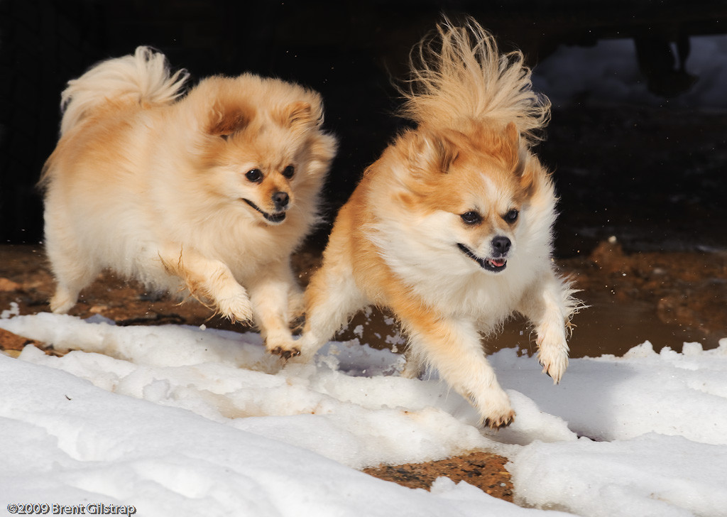 """Pommies in the Snow"" Mariposa, CA  Section: Professional Enlargements Class: Animals Place: <b><font color=""white""><u>3rd</u></font></b>"