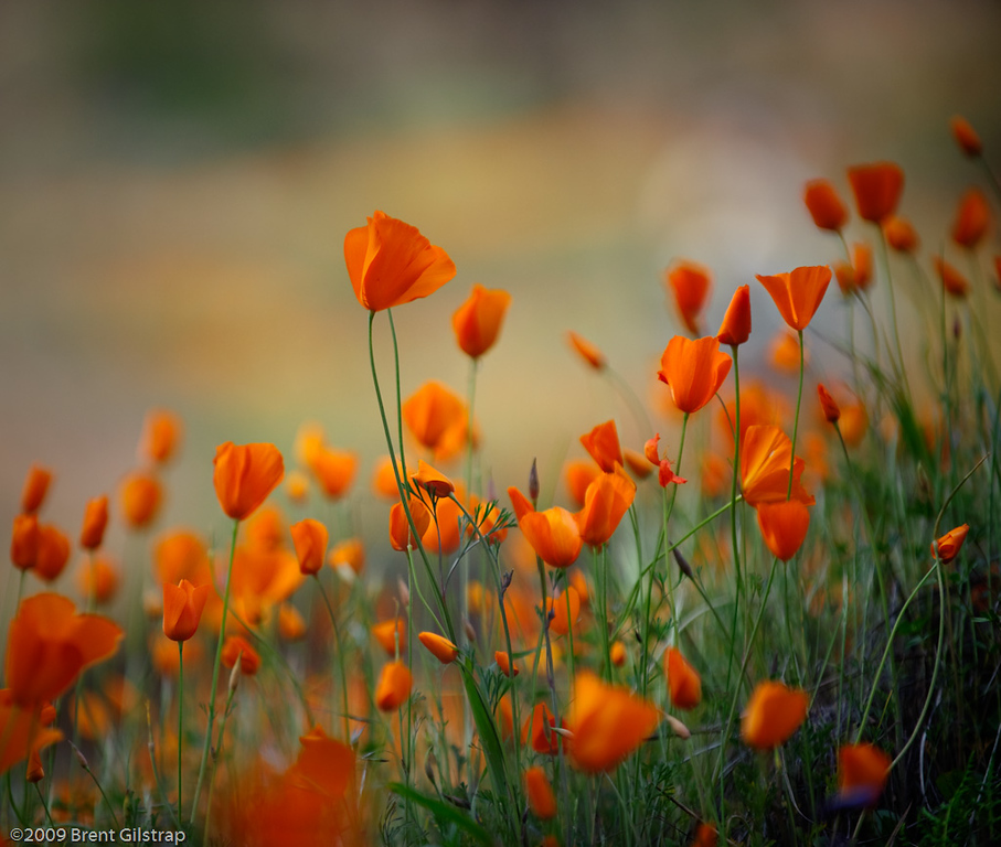 """Poppies"" Merced River Gorge, Sierra National Forest, CA  Section: Professional Enlargements Class: Flowers Place: <u>Honorable Mention</u>"