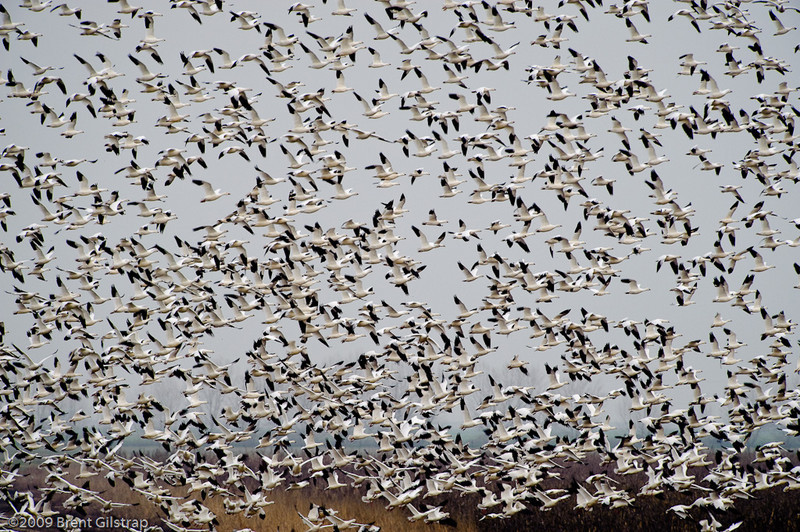"""""""Geese in Flight""""<br /> Merced National Wildlife Refuge, CA<br /> <br /> Section: Professional Enlargements<br /> Class: Animals<br /> Place: -none-"""