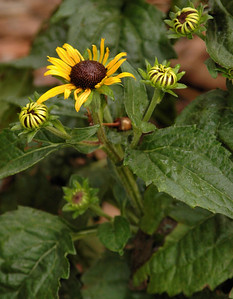 6/17/09 Black eyed susans starting to bloom.