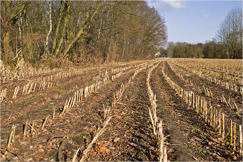 Leading Corn Lines