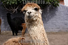 Peru : A tipical peruvian alpaca, from which you can obtain the most soft fabrics . © Victoria Schirinian/LATINPHOTO.org