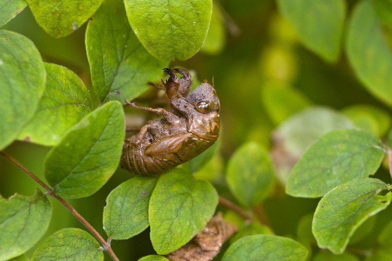 Discarded Cicada skin
