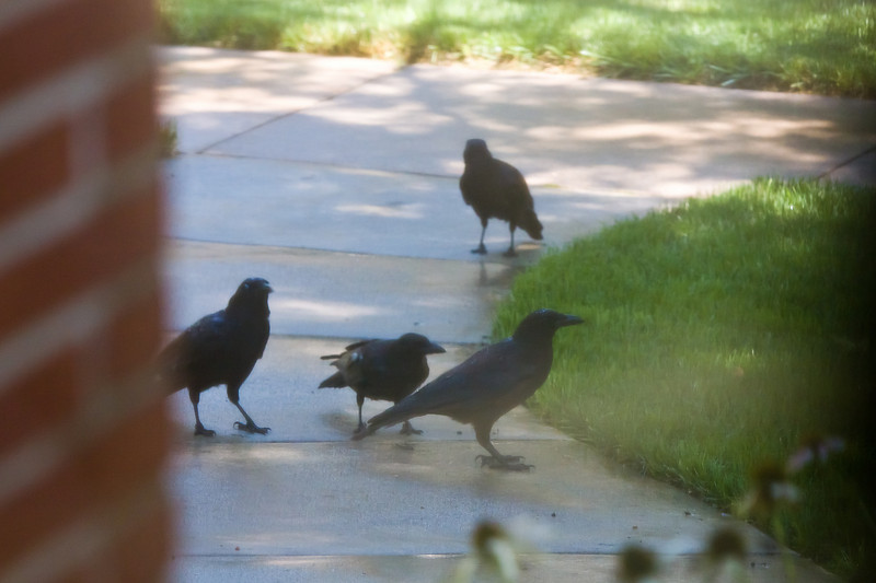 Crows drinking water from the sprinklers off the front sidewalk