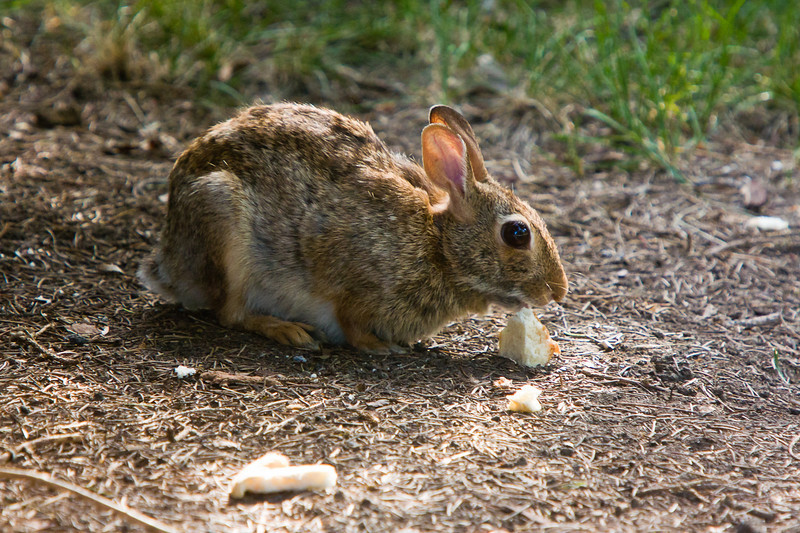 Our resident cotton-tail rabbit taking advantage of bread left for the birds