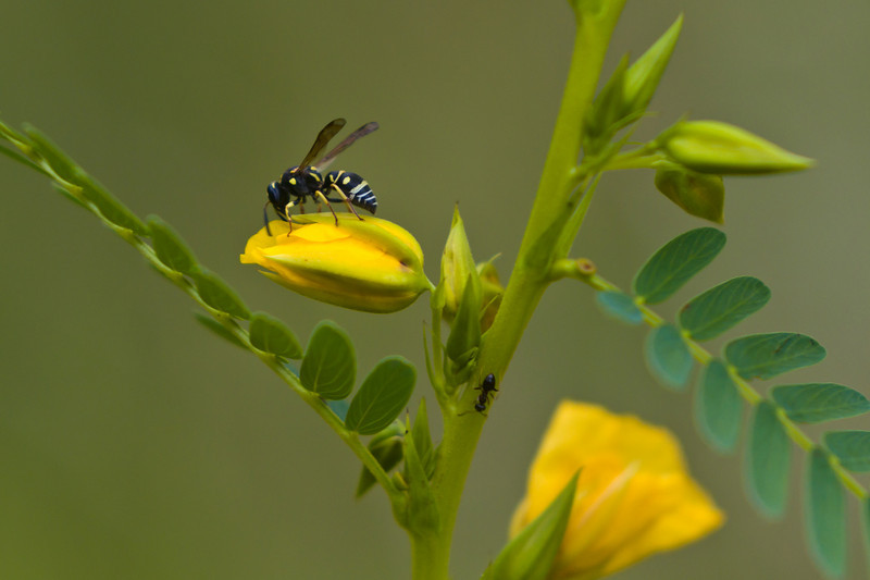 Small wasp investigating young acacia-tree flower buds