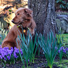 Lulu hanging in the front yard with the early spring flowers