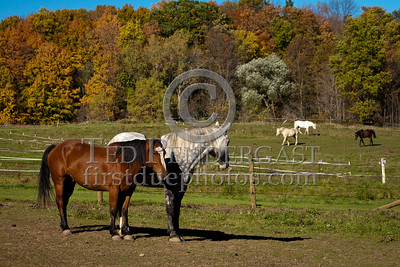 Horses in Field, Myers Rd. - Shaftsbury VT