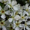 pluot blossoms. come pollinate me!