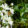 bee happy in your work. pluot blossoms.