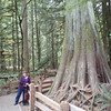 old growth forest on Vancouver Island