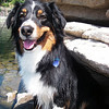 Buddy is a four year old Australian Shepherd.  He came to us in April of 2010.