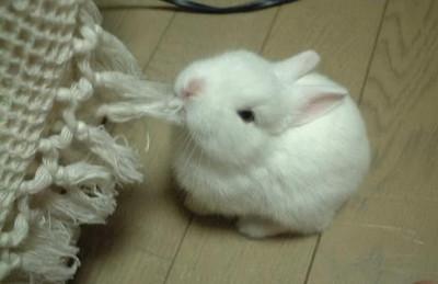 bunny fringe