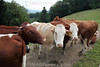 Weidende Kühe oberhalb der Blüemlisalp in Egerkingen.