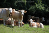 Kühe weiden auf der Spmmerwqeide oberhalb von Oberbuchsiten.