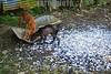 Nicaragua - Puerto Cabezas : Miskitos en el Puerto de Bilwi, Puerto Cabezas se dedican a la Caza y Pesca de las Tortugas verdes, las cuales se encuentran en estado de extincion, tienden redes en las corrientes marinas de Sandy Bay y Cayos Miskitos en el Atlantico de Nicaragua . Estas son comercializadas por el costo de U$ 25 a U$ 50. Lista Roja de la UICN. / Turtle meat sold in puerto cabezas. Green sea turtle. C. mydas is listed as endangered by the IUCN and CITES and is protected from exploitation in most countries. It is illegal to collect, harm or kill them. / Nikaragua: Weggeworfene Panzer von Schildkröten in Puerto de Bilwi. Die Suppenschildkröte (Chelonia mydas) ist ein Vertreter der Meeresschildkröten. Seit 1988 steht sie durch das Washingtoner Artenschutz-Übereinkommen unter internationalem Schutz. Rote Liste gefährdeter Arten. Artenschutz. © Inti Ocon/LATINPHOTO.org