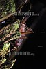 Ecuador : Caelifera . Amazonia. Cuyabeno. Selva. Insectos. / Insect. / Ekuador: Insekt. Heuschrecke. © German Falke/LATINPHOTO.org