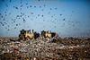 Argentina : Trabajo en progreso . Perdida y desperdicios de alimentos - CEAMSE - Aves - Pala excavadora / Argentinien : Bagger auf einer Müllhalde - Deponie - Vögel © Augusto Famulari/LATINPHOTO.org