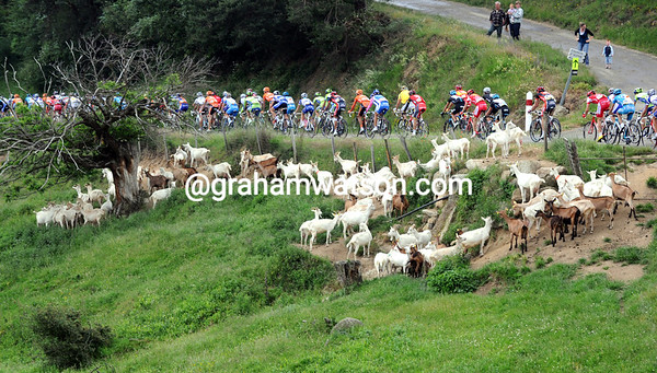 Spot the animals from this lot...the peloton speeds past a herd of goats as the racing begins in earnest...