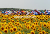 The peloton squeezes between sunflower fields on its leisurely trek south into Burgundy...