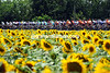 The peloton is as colourful as the sunflowers that seem to be everywhere today...