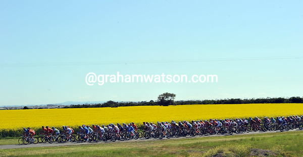 The peloton breezes past some mustard seed flowers...