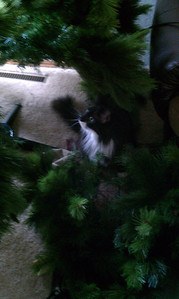 Cheyenne in the Christmas tree