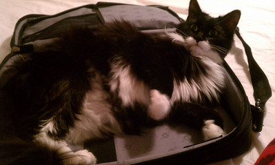 Cheyenne trying to rest in my laptop case