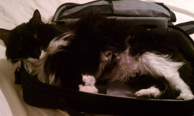 Cheyenne trying to rest in my laptop case - she finally found the right spot and fell asleep