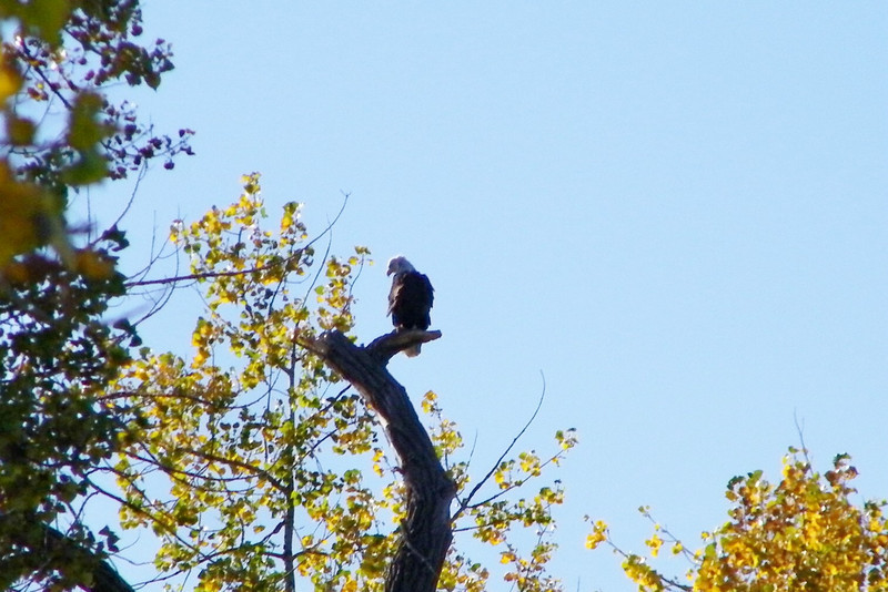 This is a Bald Eagle that was hunting in the lake.