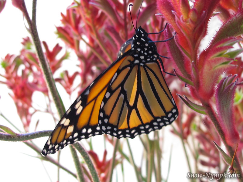 Monarch Butterfly drying her wings