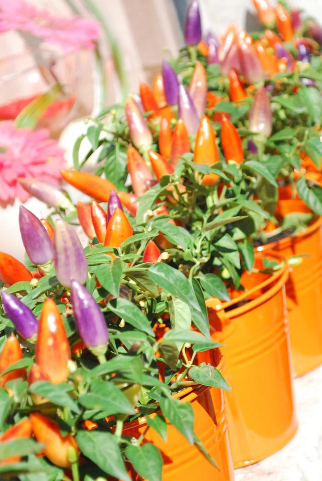 Beautiful chili peppers outside the floriste en Navarrenx.