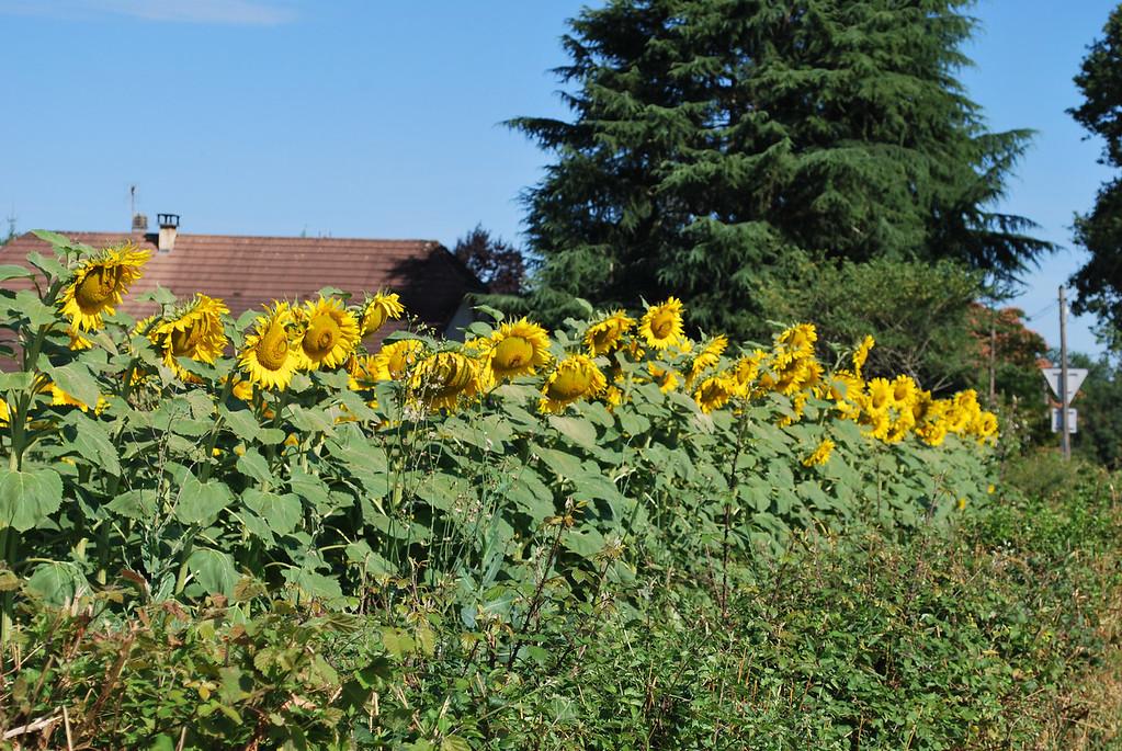 Sunflower field leading into Navarrenx
