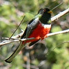 Male Trogon-Garden Canyon