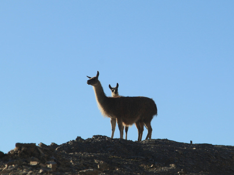 Llamas. Seen near the top of the Col de Tourmalet in the Pyrenees, France.
