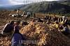 Peru : Papa . patata. / Potato./ Peru: Indigenas bei der Ernte von Kartoffeln. Grundnahrungsmittel . © Alejandro Balaguer/LATINPHOTO.org