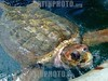 Brazil : Tartaruga cabecuda, especie em extincao, em tanque de reproducao no projeto Tamar em Praia do Forte, Bahia . / Projeto TAMAR, Brazilian non-profit organization owned by the Chico Mendes Institute for Biodiversity Conservation. The main objective of the project is to protect sea turtles from extinction in the Brazilian coastline. Loggerhead sea turtle. / Brasilien: Unechte Karettschildkröte (Caretta caretta) in Praia do Forte. © Victor Hart/LATINPHOTO.org
