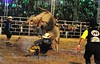 BRASIL : PIQUETAO 2011 - 21 FESTA DO PEAO DE BOIADEIRO EM PIQUETE - RODEIO . / Rodeo. / Brasilien: Rodeoveranstaltung. Bullenreiten. © Lucas Lacaz Ruiz/LATINPHOTO.org