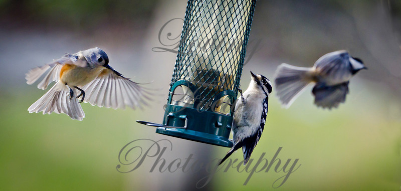 """""""Birding in my Bathrobe:)"""" -- the birds are feeding in the early morning light.  This image captures three species -- a nice composition of birds entering and exiting the frame. L-R: Tufted Titmouse, Downy Woodpecker, Black-capped Chickadee.<br /> Nikon D7000 and 70-200 mm (heavy lens) on tripod facing out window -- remote cable release -- low ISO -- fast speed -- RAW format."""