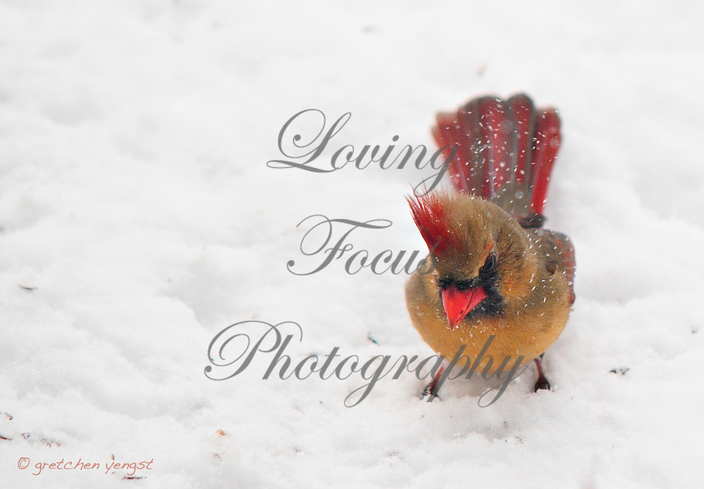 """""""Pretty Female Cardinal"""" -- I used this image for my holiday card this year. No one thinks the female cardinals are pretty -- but this lady proves them wrong. And the light snow in the air and foreshortened view of the bird created a unique image that I like."""