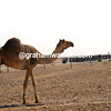 A camel, not belonging to Hunt, watches the Tour of Qatar pass by...