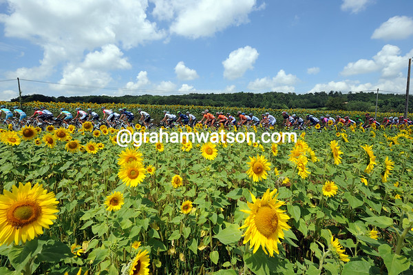This is a big sunflower region of the Tour - the peloton flies by...